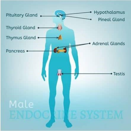 Male endocrine system